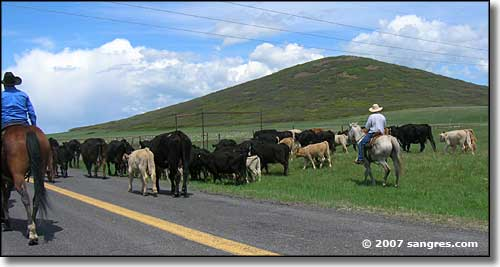 A cattle drive on Johnson Mesa, New Mexico