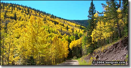 aspens in full fall colors
