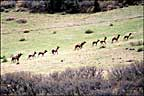 another herd of elk