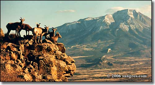 Bighorn sheep, West Spanish Peak, Colorado