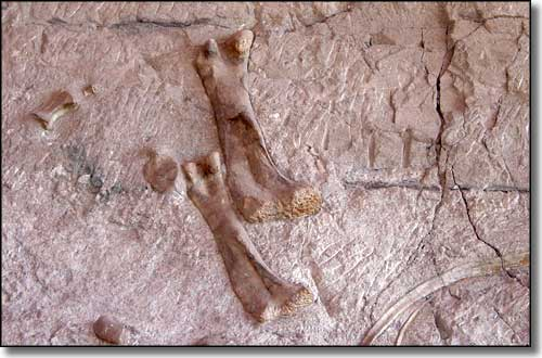 Dinosaur bones embedded in the wall at the Dinosaur Quarry, Dinosaur National Monument