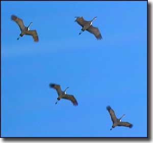 Sandhill cranes above Monte Vista National Wildlife Refuge