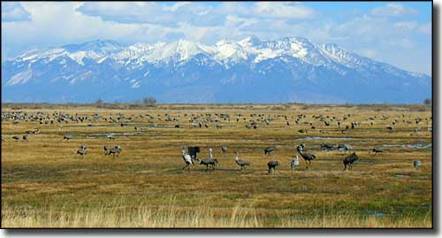 Sandhill cranes on the ground, Mount Blanca in the background