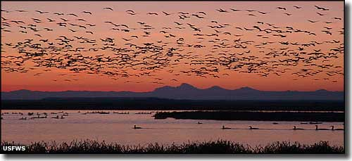 Snow geese in the air at Camas National Wildlife Refuge (Teton Mountains in the background)