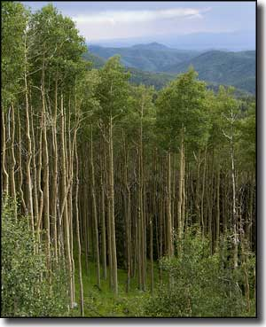 A view over the aspens along the Santa Fe National Forest Scenic Byway