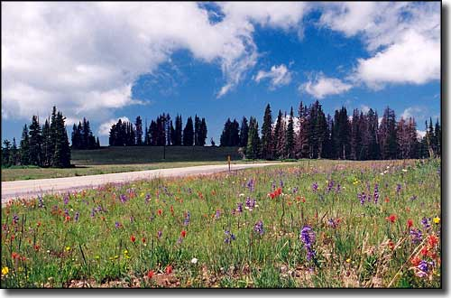 A field of wildflowers along the Cedar Breaks Scenic Byway