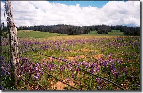 Fields of purple penstemons line the road