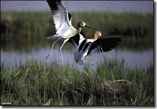 Avocets at Bear River Migratory Bird Refuge