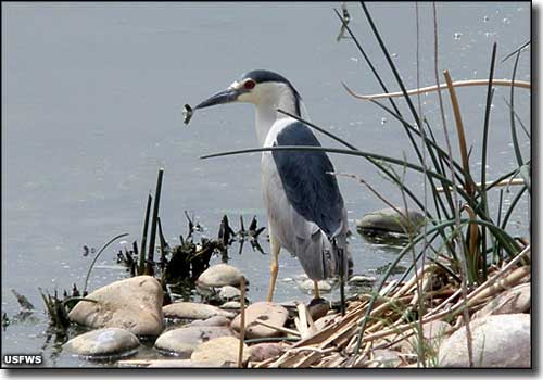 A black crowned night heron at Ouray National Wildlife Refuge