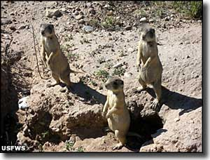 Prairie dogs at Ouray National Wildlife Refuge