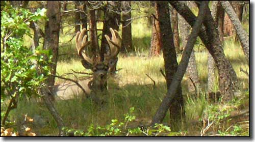 Mule deer buck in the woods